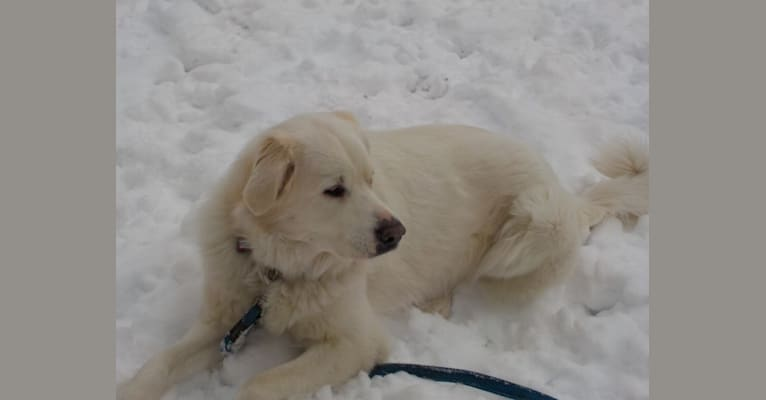 Photo of Yuki, a Great Pyrenees, Maremma Sheepdog, Kuvasz, and Mixed mix in Toronto, Ontario, Canada