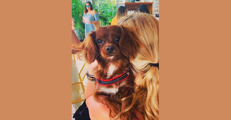 Photo of Lily, a Cavapoo  in Centre Hall, PA, USA