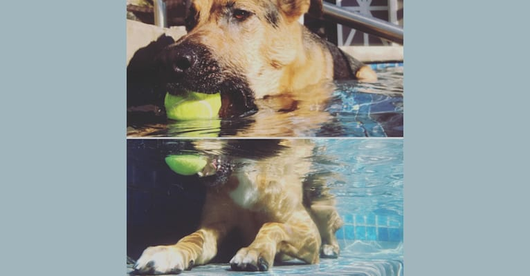 Photo of Journey, a German Shepherd Dog, Rottweiler, Australian Cattle Dog, and American Pit Bull Terrier mix in Rocklin, California, USA
