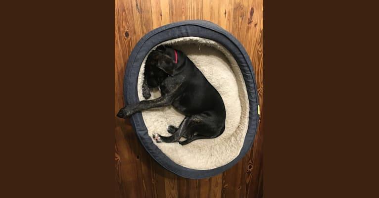 Photo of Jasper, a Golden Retriever, Beagle, and Australian Cattle Dog mix in Charlottesville, Virginia, USA