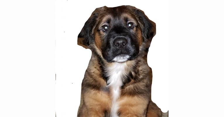Photo of LoKi, an American Bulldog, Rottweiler, and German Shepherd Dog mix in Madison, Ohio, USA