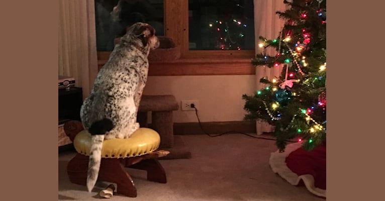 Photo of Blitz, an Australian Cattle Dog and Beagle mix in Niles, Illinois, USA