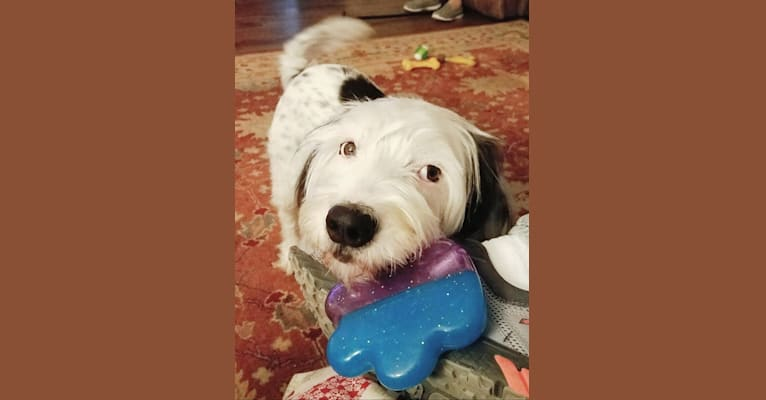 Photo of Snoopy, a Llewellin Setter, Bichon Frise, and Poodle (Small) mix in Alexander City, Alabama, USA