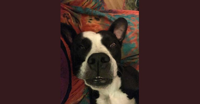 Photo of Frankie, an American Bulldog and American Pit Bull Terrier mix in Indianapolis, Indiana, USA