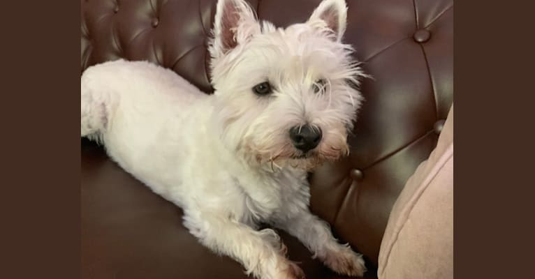Photo of Baby Babette, a West Highland White Terrier  in Unknown