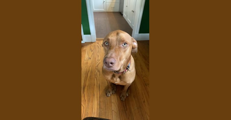Photo of Trout, an American Pit Bull Terrier, Labrador Retriever, German Shepherd Dog, American Staffordshire Terrier, Beagle, and Mixed mix in Ann Arbor, Michigan, USA