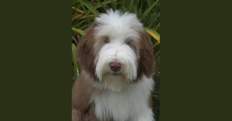 Photo of Truman, a Bearded Collie  in Saylorsburg, PA, USA