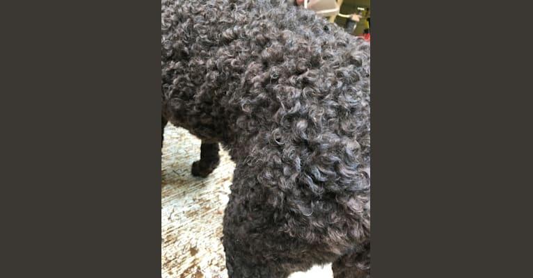 Photo of Scarlet, a Poodle (Standard)  in Veneta, Oregon, USA