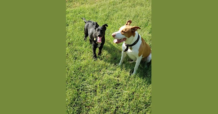 Photo of Ace, a German Shepherd Dog, American Pit Bull Terrier, and Australian Cattle Dog mix in Tulsa, Oklahoma, USA