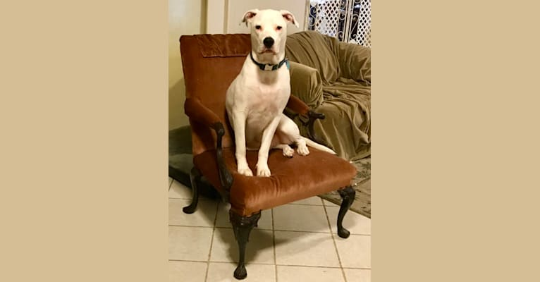 Photo of Peepers, an American Pit Bull Terrier and American Bulldog mix