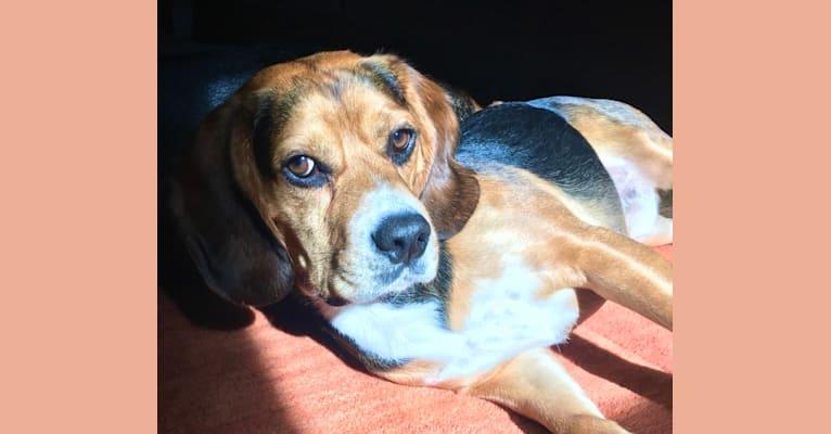 Photo of Shiloh, a Beagle, Cocker Spaniel, and Boxer mix in Chicago, Illinois, USA