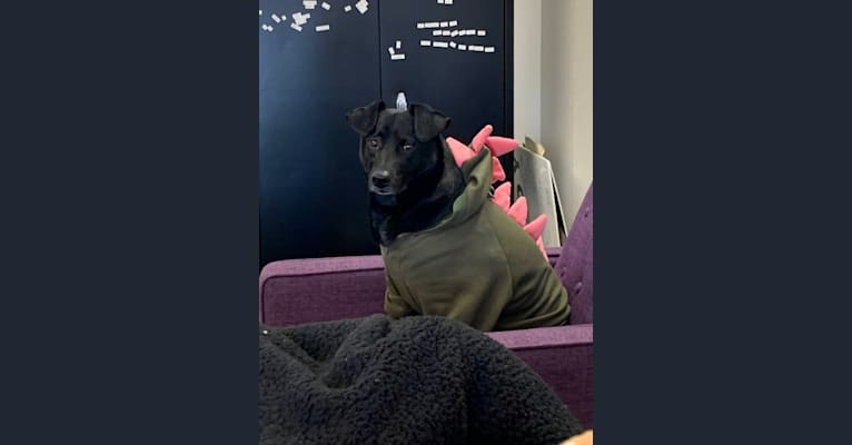 Photo of Charlie, an Australian Cattle Dog, Poodle (Small), Chihuahua, American Pit Bull Terrier, Chow Chow, and Mixed mix in St Paul, Minnesota, USA