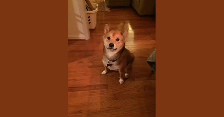 Photo of Zuko, a Shiba Inu  in Maryland, USA
