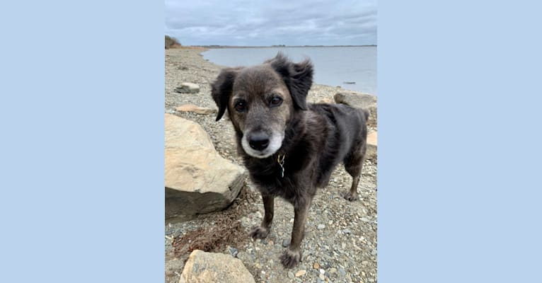 Photo of Remmy, a Beagle, Poodle (Small), Labrador Retriever, and Mixed mix in Newport, Rhode Island, USA