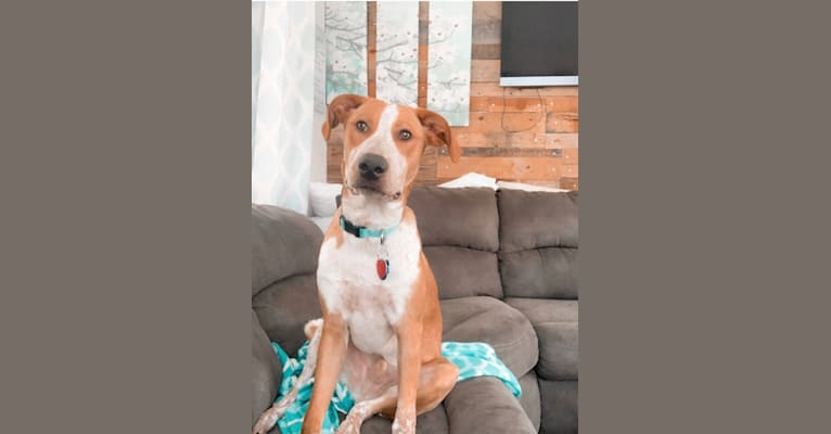 Photo of OBI, a German Shorthaired Pointer, Pointer, Australian Cattle Dog, and Border Collie mix in Moses Lake, Washington, USA