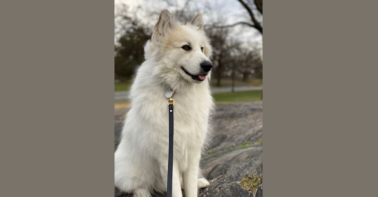 Photo of Nanuk, a Great Pyrenees, German Shepherd Dog, Alaskan Malamute, Samoyed, and Mixed mix in Kentucky, USA