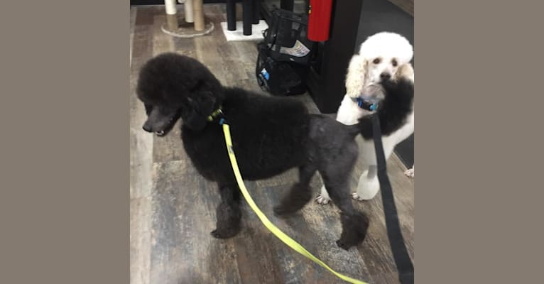 Photo of Elvis, a Poodle (Standard)  in Wilmington, OH, USA