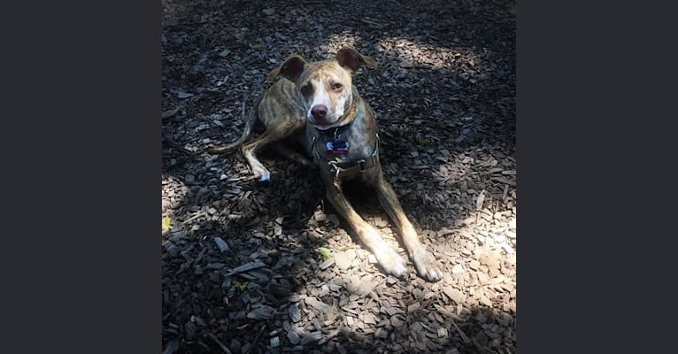 Photo of Dodger, a Mountain Cur  in South Carolina, USA