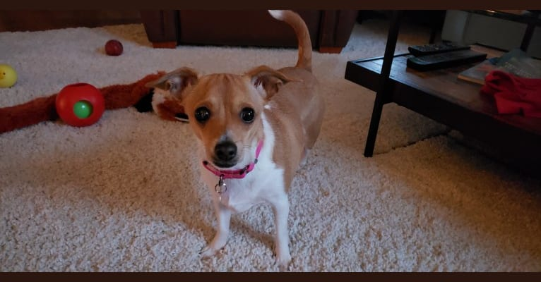 Photo of Bug, a Dachshund, Chihuahua, Russell-type Terrier, Pekingese, and Mixed mix in Highlands Ranch, Colorado, USA