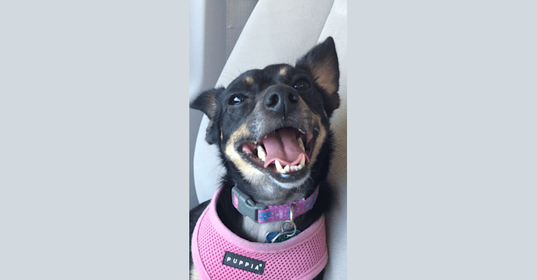 Photo of Isabelle, a Rat Terrier  in Cleveland Heights, Ohio, USA