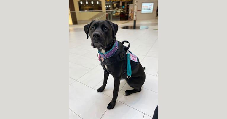 Photo of Octavia, a Boxer, American Pit Bull Terrier, and Labrador Retriever mix in Newfoundland and Labrador, Canada