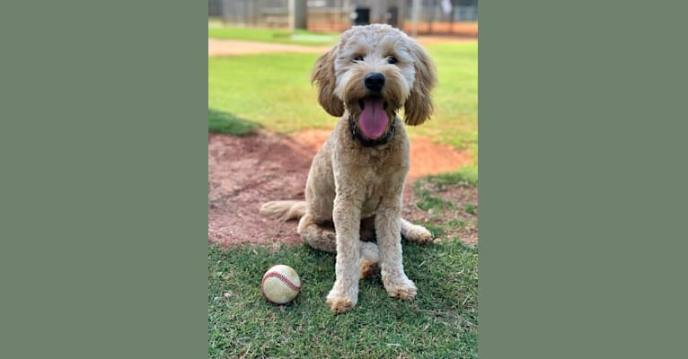 Photo of Hank, a Goldendoodle  in Canton, GA, USA