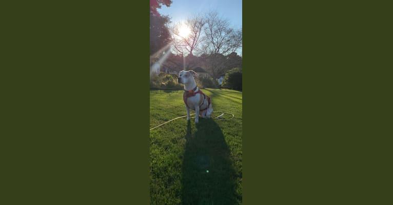 Photo of Ellie, an American Pit Bull Terrier  in Cumming, Georgia, USA