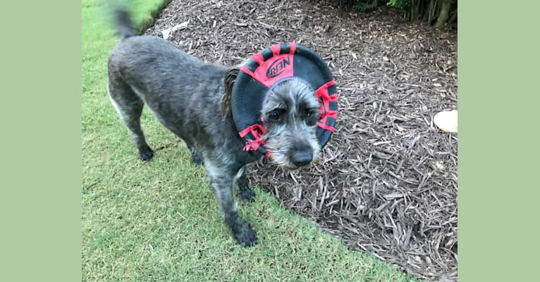 Photo of Garbage Bin, a Miniature Schnauzer, Australian Shepherd, American Pit Bull Terrier, and American Staffordshire Terrier mix in Gloucester, Virginia, USA