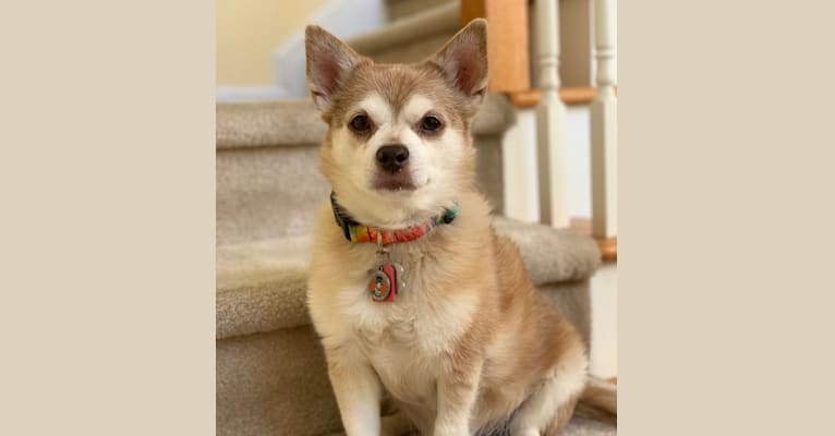 Photo of Ernie, a Chihuahua, Rat Terrier, and Pomeranian mix in Charlotte, North Carolina, USA