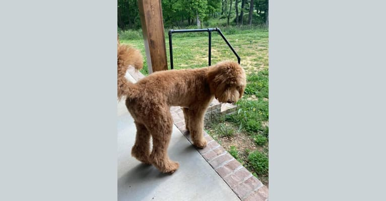 Photo of Kopper, a Goldendoodle  in Clarksville, TN, USA