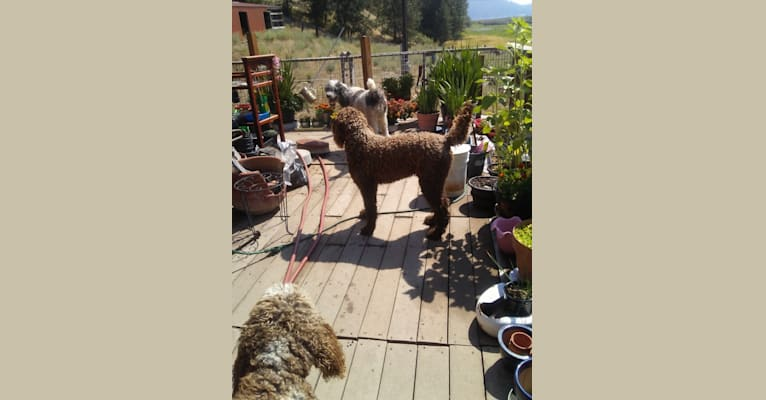 Photo of ROULETTE, a Poodle (Standard)  in Newman Lake, Washington, USA