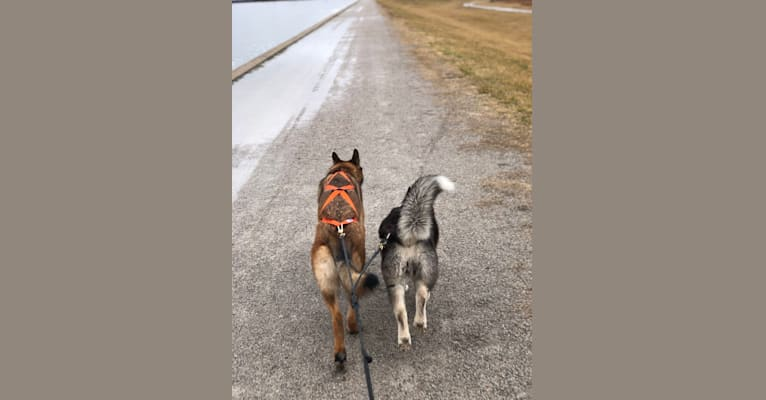 "Photo of KHs His Reign Has Just Begun ""Kaiser"", a German Shepherd Dog and Dutch Shepherd mix in Oklahoma City, OK, USA"