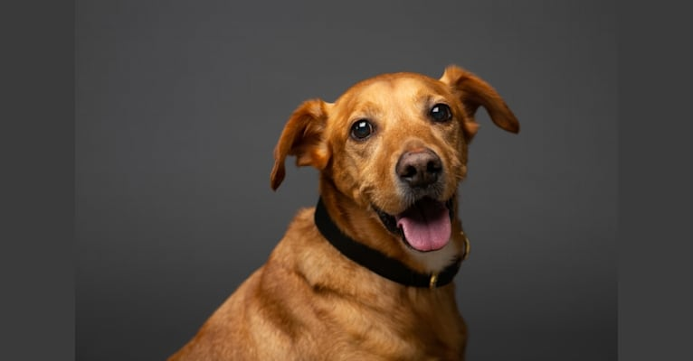 Photo of Rigby, a Labrador Retriever, American Pit Bull Terrier, Golden Retriever, Chow Chow, and Mixed mix in Summerville, South Carolina, USA