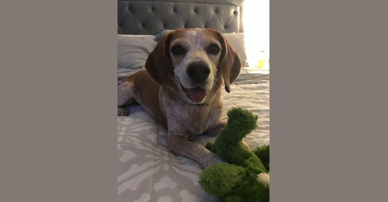 Photo of Maggie, a Beagle  in Raleigh, North Carolina, USA