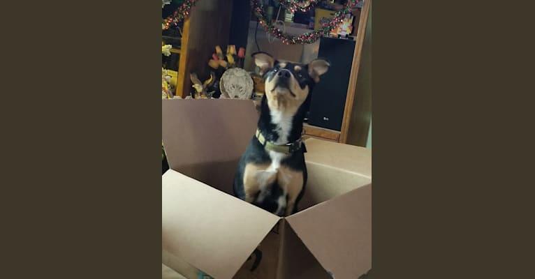Photo of Kenai, a Rat Terrier, German Shepherd Dog, Treeing Walker Coonhound, and American Eskimo Dog mix in London, Kentucky, USA