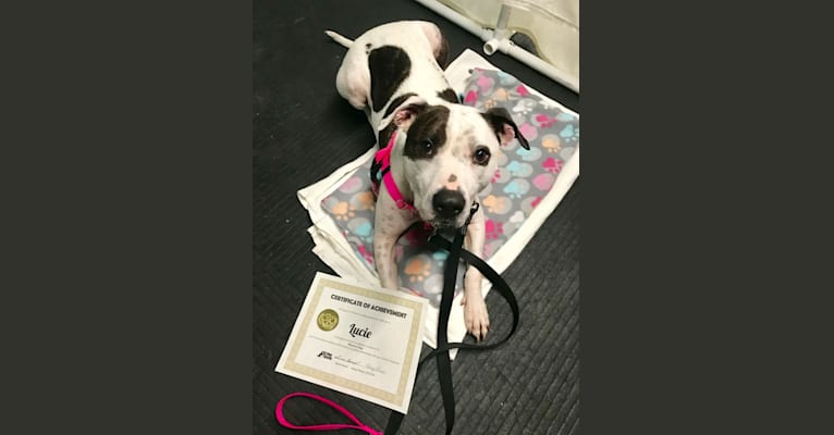 Photo of Lucie, an American Pit Bull Terrier and Boxer mix in Hinckley, Ohio, USA