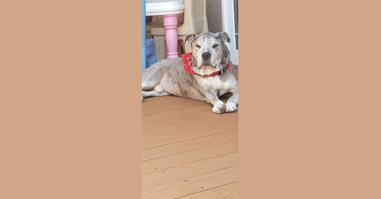 Photo of Bam Bam, an American Pit Bull Terrier and American Staffordshire Terrier mix in Newark, California, USA