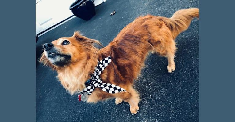 Photo of Tovi, a Pug, Chihuahua, Dachshund, Shih Tzu, and American Eskimo Dog mix in Massachusetts, USA