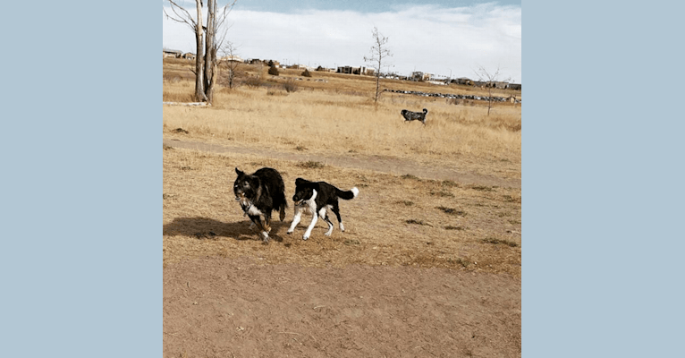 Photo of Tinker, a Great Pyrenees, Border Collie, German Shepherd Dog, Australian Cattle Dog, and American Pit Bull Terrier mix in Centennial, Colorado, USA