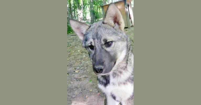 Photo of Anya, a Siberian Husky  in Buffalo, Minnesota, USA