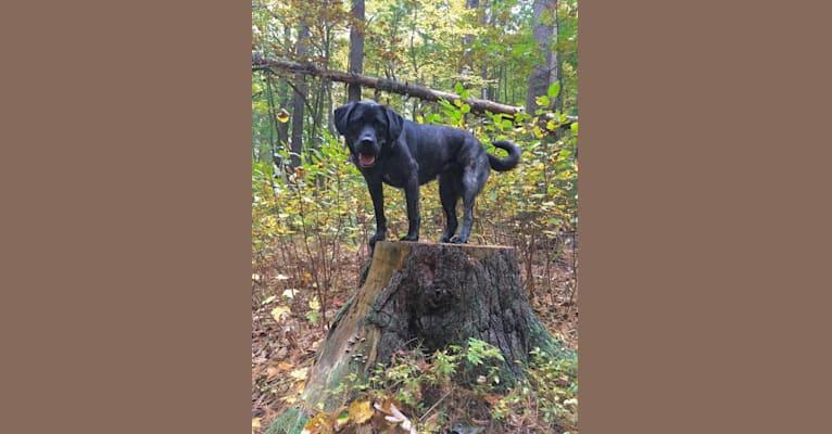 Photo of Ula, a Labrador Retriever and Saint Bernard mix in Mercer, Maine, USA