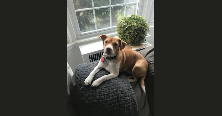 Photo of Georgia, a Russell-type Terrier, Chinese Shar-Pei, American Bulldog, Boston Terrier, and Mixed mix in Georgia, USA