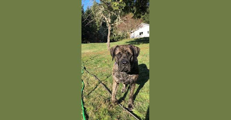 Photo of Paige, a Mastiff  in Carlton, Oregon, USA