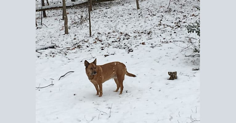 Photo of Scotchie, a Siberian Husky, German Shepherd Dog, Labrador Retriever, Chow Chow, and Mixed mix in Indiana, USA