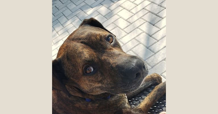 Photo of Buddy, an American Pit Bull Terrier, Doberman Pinscher, American Staffordshire Terrier, and Rottweiler mix in Tampa, Florida, USA