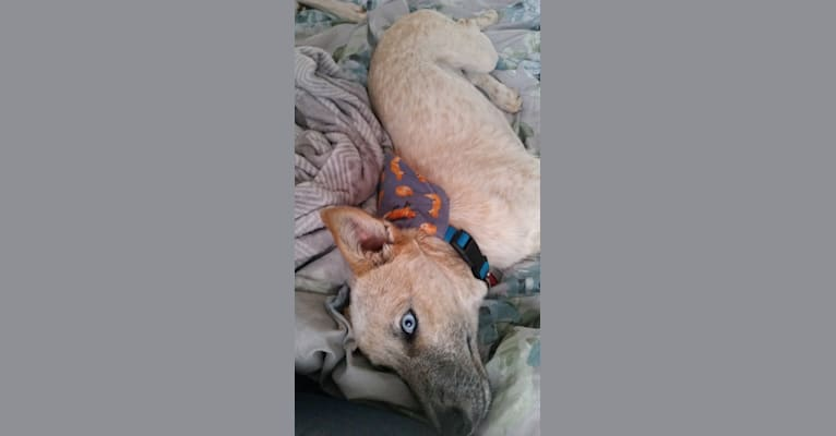 Photo of Isolyss, an Australian Cattle Dog, American Pit Bull Terrier, German Shepherd Dog, and Mixed mix in Alamogordo, New Mexico, USA