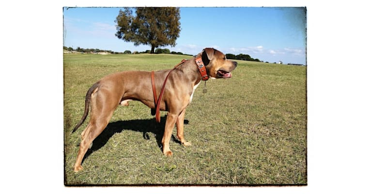 Photo of Bruno, an American Staffordshire Terrier  in Sydney, New South Wales, Australia