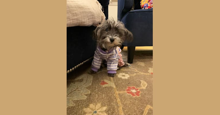 Photo of Gracie Layne, a Poodle (Small) and Yorkshire Terrier mix in Port Washington, New York, USA