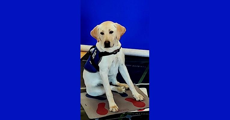 Photo of Sureshot's Gift of Gab, a Labrador Retriever  in Wilton, CA, USA