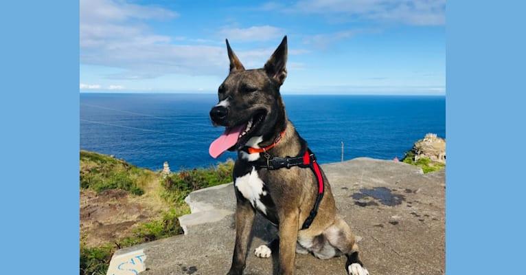 Photo of Cosmo, a Siberian Husky, American Pit Bull Terrier, American Staffordshire Terrier, and Alaskan Malamute mix in Honolulu, Hawaii, USA